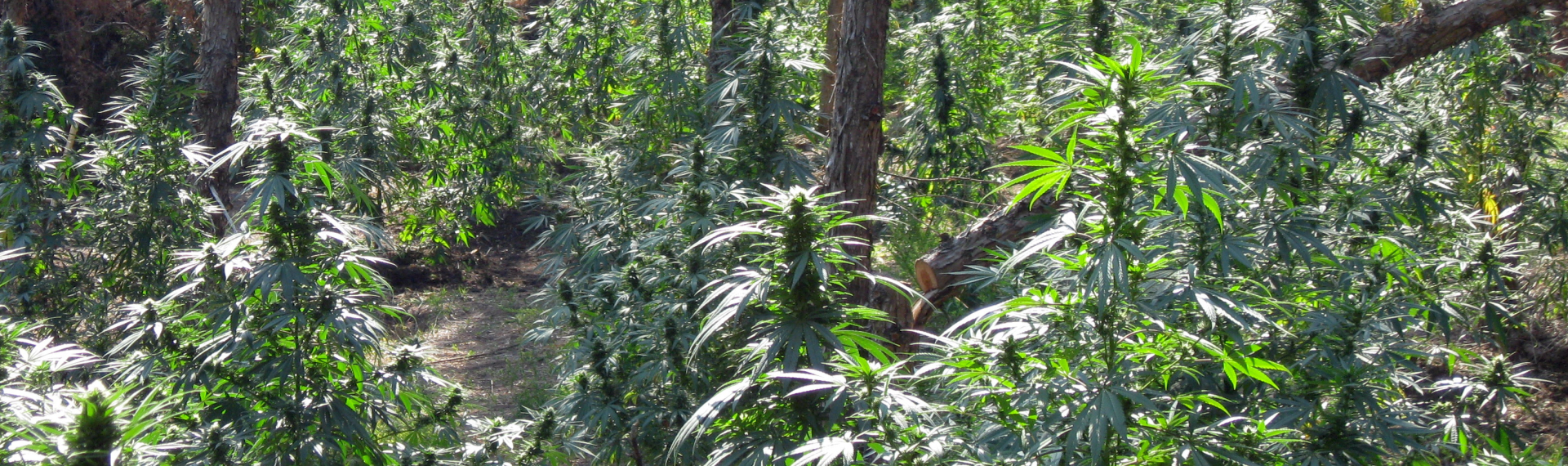 Illegal Marijuana Growing in Forest